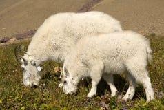 Мать козы горы и ребенк, национальный парк ледника Стоковые Изображения RF