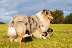 Мать Коллиы с ее щенятами Стоковые Изображения RF