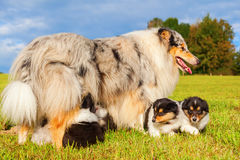 Мать Коллиы с ее щенятами Стоковое Фото