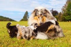 Мать Коллиы с ее щенятами Стоковая Фотография