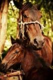 мать лошади младенца Стоковые Изображения