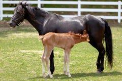 мать лошади младенца Стоковая Фотография RF