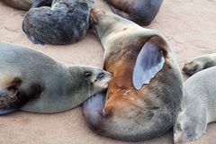Мать морского котика кормить ее младенца сосунка близко вверх, колония ушастых морских котиков Брауна на кресте накидки, Намибии, стоковые изображения