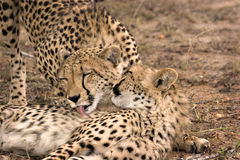 мать новичка гепарда Стоковое фото RF