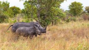 Мать носорога с младенцем Meru, Кения стоковое фото rf