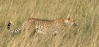 мать нося новичка гепарда Стоковое Изображение