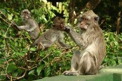 мать обезьяны внимательности Стоковое Изображение