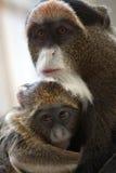мать обезьяны младенца Стоковые Фото