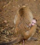 мать обезьяны младенца Стоковая Фотография