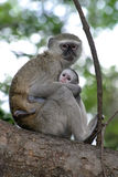 мать обезьяны ребенка Стоковая Фотография