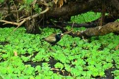 Мать-одиночка - цветок лотоса стоковая фотография