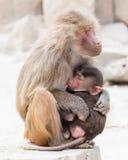 Мать павиана и ее маленькое одно Стоковое Фото