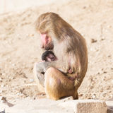 Мать павиана и ее маленькое одно Стоковые Фото