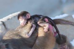 Мать павиана и ее маленькое одно Стоковое Изображение RF