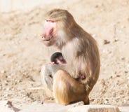 Мать павиана и ее маленькое одно Стоковая Фотография