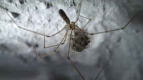 Мать паука черепа сток-видео