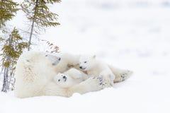 Мать полярного медведя с 2 новичками Стоковая Фотография