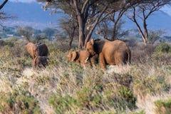 мать семьи слона кокоса икры младенца около стержня ладони Кения, Африка Стоковое Изображение RF