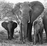 мать семьи слона кокоса икры младенца около стержня ладони стоковые изображения rf