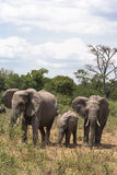 мать семьи слона кокоса икры младенца около стержня ладони masai Кении mara Стоковые Фото
