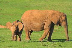 мать слона младенца стоковое изображение rf