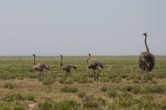 Мать страуса и свой идти детей стоковые фотографии rf