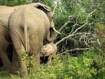 Мать слона с младенцем в forrest Стоковые Фото