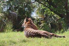 Мать тигра наблюдая ее новичка стоковое фото