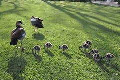 Мать утки и ее семья Стоковая Фотография
