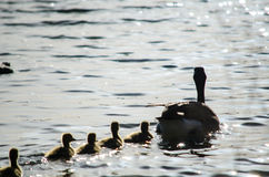 мать утки младенцев Стоковые Изображения RF