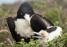 мать фрегата птиц младенца Стоковое Фото