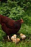 мать цыпленоков clucky стоковая фотография rf
