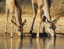 Мать Kudu и икра - африканская антилопа Стоковое фото RF