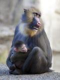 Мать Mandrill с ее младенцем Стоковые Изображения RF
