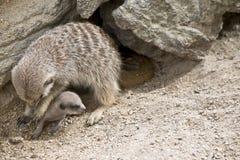 мать meerkat младенца Стоковое Изображение RF