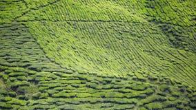Малайзийская самая большая плантация чая, гористая местность Камерона Стоковое Изображение RF