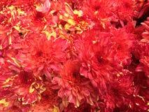 Малайзийские цветки хризантемы Стоковое Фото