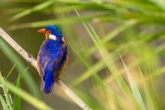 малахит kingfisher cristata alcedo Стоковое Фото
