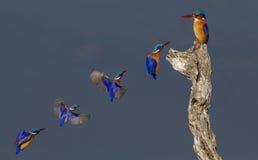 Малахит Kingsfishers в полете Стоковая Фотография