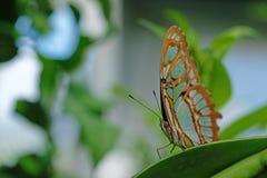 Малахит, stelenes siproeta, бабочка садился на насест на лист Стоковые Изображения