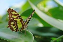 Малахит, stelenes siproeta, бабочка садился на насест на лист Стоковые Изображения RF