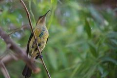 Малахит Sunbird Стоковые Фотографии RF