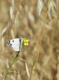 Малая бабочка собирая нектар на полевом цветке в поле Стоковое Изображение