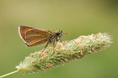 Малая бабочка шкипера & x28; Sylvestris& x29 Thymelicus; стоковая фотография