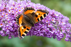 Малая бабочка Tortoiseshell на цветке будлеи Стоковое Изображение RF
