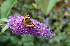 Малая бабочка Tortoiseshell на цветке будлеи Стоковое Фото