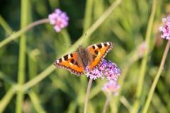 Малая бабочка tortoiseshell на цветке вербены Стоковая Фотография
