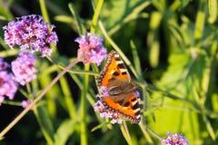 Малая бабочка tortoiseshell на цветке вербены Стоковые Изображения RF