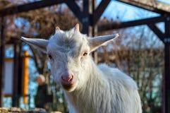 Малая белая коза смотрит правой в камеру стоковые фотографии rf