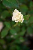 Малая белая роза на зеленой предпосылке Стоковое Изображение RF